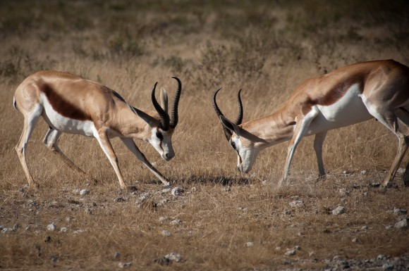 Antilopy skákavé (springboks)